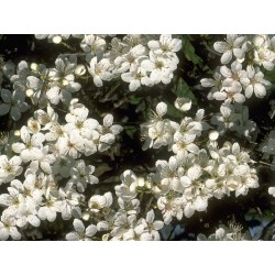 Cherry Plum (Prunier Myrobolan) 10 ML HEALING HERBS