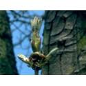 Chestnut Bud (Bourgeon de Marronnier) 10 ML HEALING HERBS