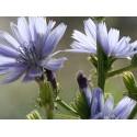Chicory (Chicorée) 10 ML HEALING HERBS