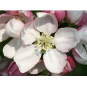 Crab Apple (Pommier Sauvage) 10 ML HEALING HERBS