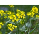 Mustard (Moutarde) 10 ML HEALING HERBS