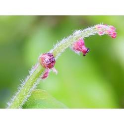Oak (Chêne) 10 ML HEALING HERBS