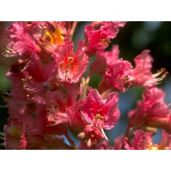 Red Chestnut (Marronnier Rouge) 10 ML HEALING HERBS