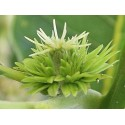 Sweet Chestnut (Châtaignier) 10 ML HEALING HERBS