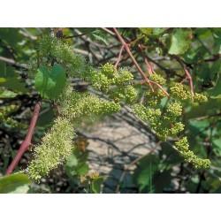 Vine (Vigne) 10 ML HEALING HERBS