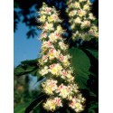 White Chestnut (Marronnier Blanc) 10 ML HEALING HERBS
