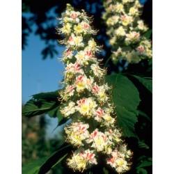 White Chestnut (Marronnier Blanc) 10 ML HEALING HERBS