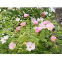 Wild Rose (Églantine) 10 ML HEALING HERBS
