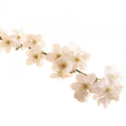 Cherry Plum (Prunier Myrobolan) 20ML BACH ORIGINALS