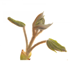 Chestnut Bud (Bourgeon de Marronnier) 20ML BACH ORIGINALS