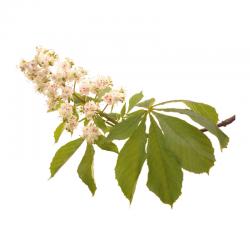 White Chestnut (Marronnier Blanc) 20ML BACH ORIGINALS