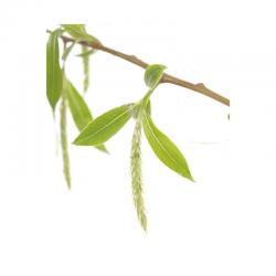 Willow (Saule) 20ML BACH ORIGINALS