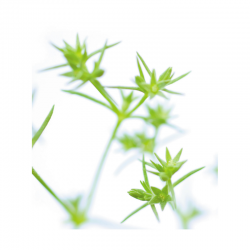 Scleranthus (Alène) 10ML DEVA